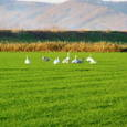 麦畑での休息(白鳥) 2005-11-05