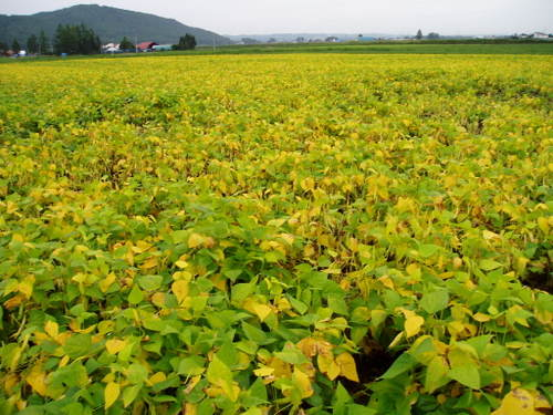 2003-9-14 金時豆