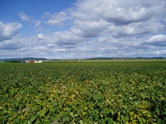 大豆畑  2006-09-23
