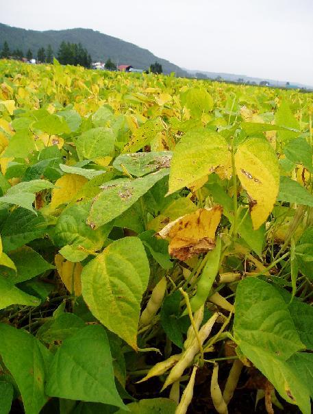 金時豆畑 2003-9-14