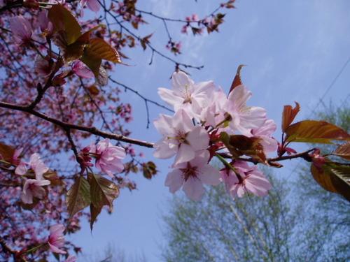 えぞ山桜(2004/5/15)