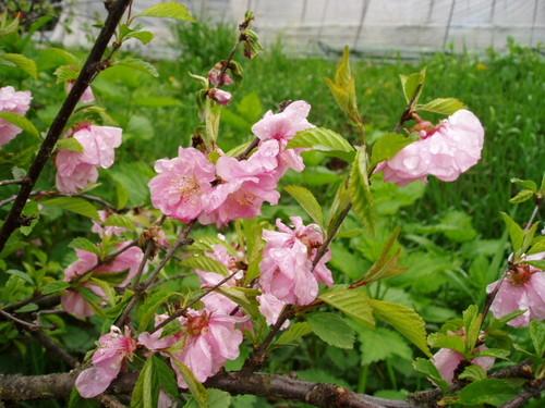 シベリア桜(2004/5/12)